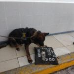 Perros detectan paquete de mariguana en la terminal camionera de Playa del Carmen, está dirigido a funcionario de la SCT